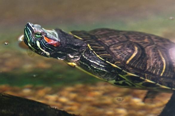 Rimini strage di anatroccoli al laghetto della cava sono for Lago per tartarughe