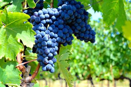 Consorzio vini tipici di san marino la vendemmia 2016 sarà da record